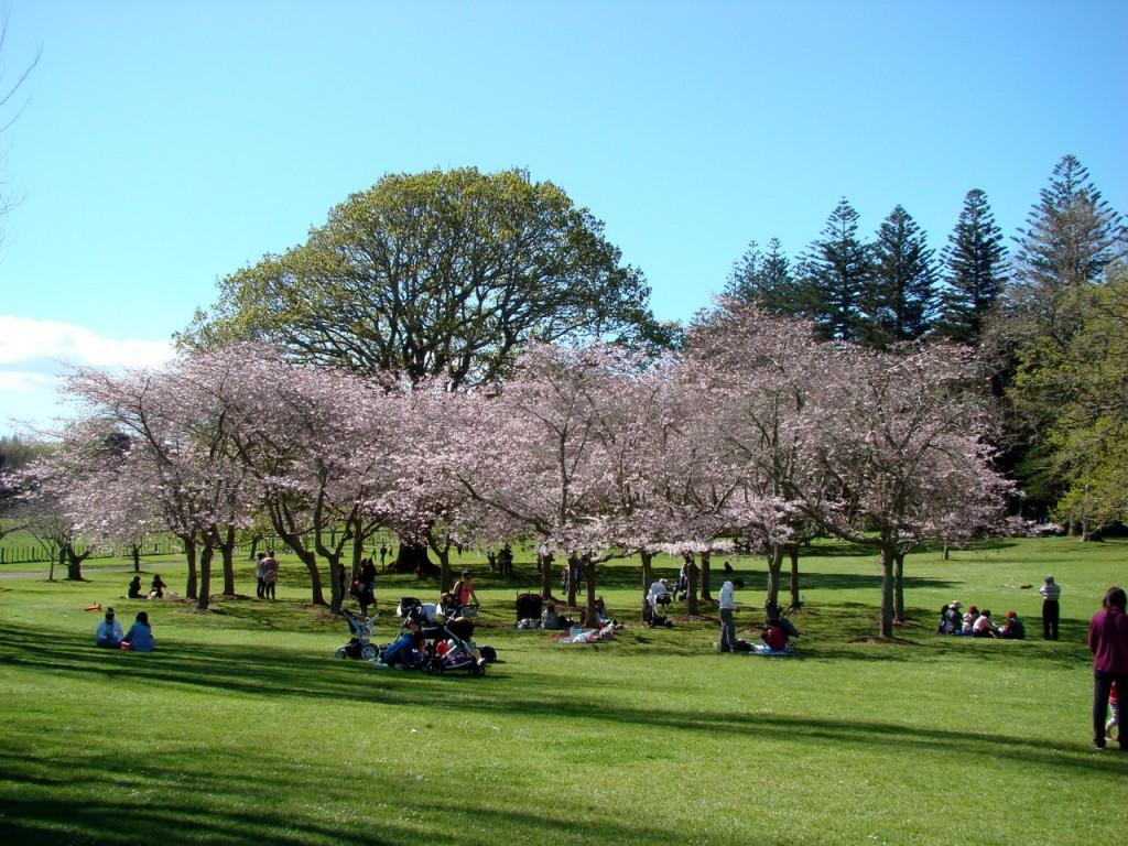 Cornwall park 桜満開
